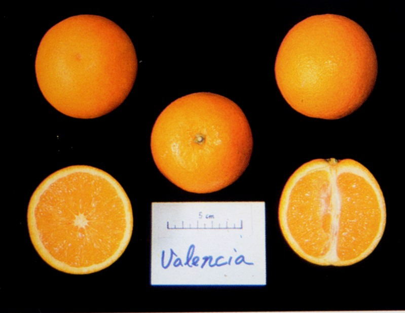 晚侖夏橙/Valencia orange/Valencia late